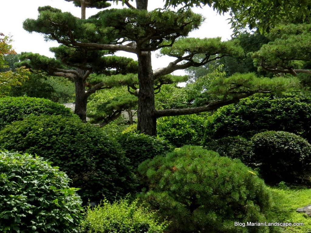 Image gallery japanese garden plants shrubs for Japanese garden bushes